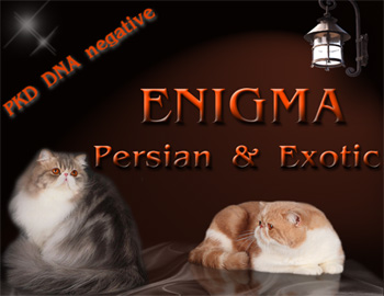 Enigma cattery - Persian and Exotic
